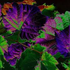 35mm leaves